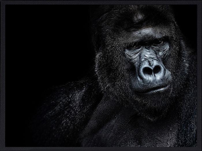 gorilla-paysage