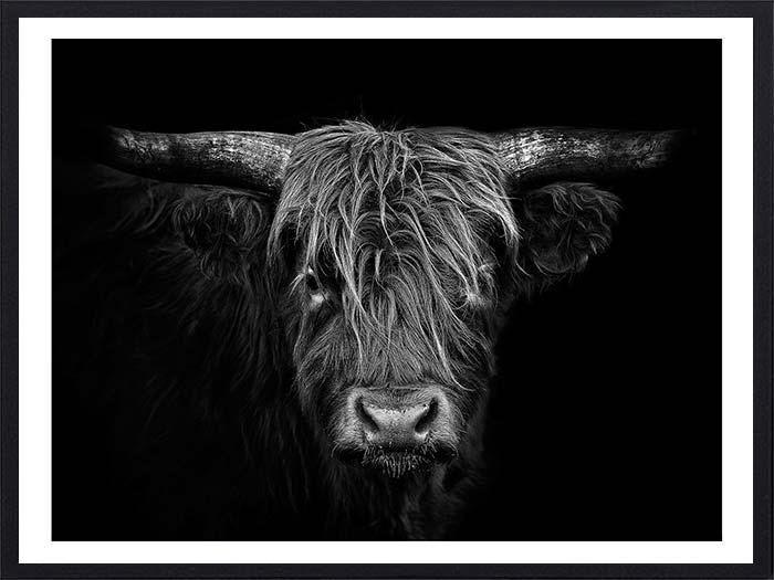 taureau-ecossais